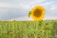 Sunflower Farm Field Agriculture Blue Sky Rural Scene