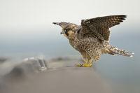 flügge... Wanderfalke *Falco peregrinus*