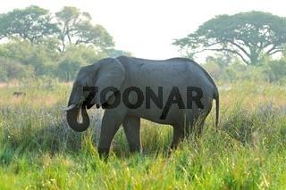 Elefant beim Fressen.jpg