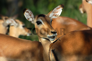 Impala: Aepyceros Melampus