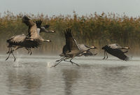 Cranes (Grus grus) rising for a flight in foggy morning