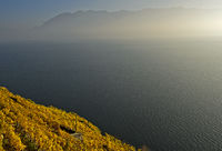 Weinberge im goldgelben Herbstlaub über dem Genfersee, Lavaux, Waadt, Schweiz