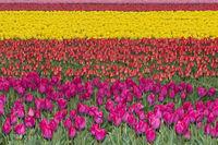 Blühendes Tulpenenfeld in der Blumenzwiebelregion Bollenstreek, Niederlande