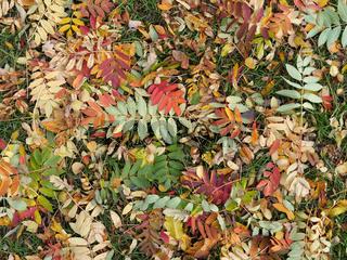 Herbstlaub des Laubbaums Eberesche