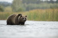 am Schilf... Europäischer Braunbär *Ursus arctos*