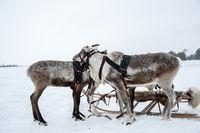 Reindeers in a team.