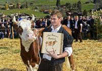 Diplomierte Schweiz Fleckvieh Kuh, Swiss Cow Topschau Saanenland, Gstaad, Schweiz