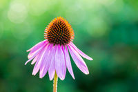 One blooming flower Echinacea purpurea