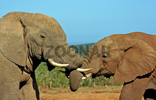 Elefanten in der Morgensonne, Südafrika