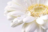 white daisy with water drops