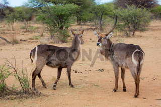 a couple of Waterbuck in the Kruger National Park