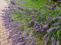 Lavendel, Lavendula, Hummeln, angustifolia,
