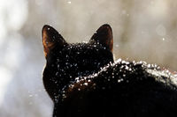 A black cat looks at the street, where a heavy snow falls. snowflakes fall on a cat from above.