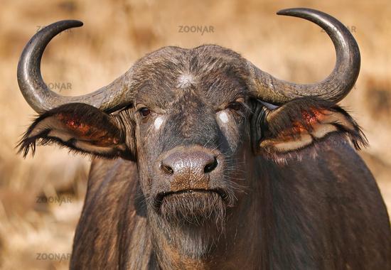 Kaffernbüffel mit Tropfen auf der Nase, Syncerus caffer, im Kruger Nationalpark, Südafrika, South Africa, African buffalo