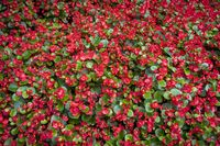 red flowers like a carpet for backgrounds