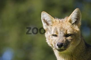 Portrait, Argentinischer Kampfuchs im NP Torres del Paine, Patagonien, Chile, Grey Fox, np Torres del Paine, Patagonia