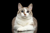 Cute White Cat, Blue eyes, Curious Looks, Isolated Black Background