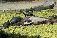 turtles and crocodile / alligator
