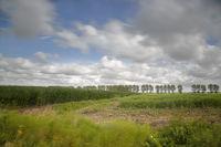 Maisfeld im Sturm