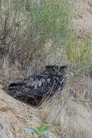 stets wachsam... Europäischer Uhu *Bubo bubo*, Altvogel sitzt im Abhang einer Kiesgrube