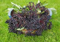 Holunderbeeren, Sambucus, nigra, Heilpflanze