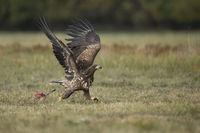 Abwehr... Seeadler *Haliaeetus albicilla*