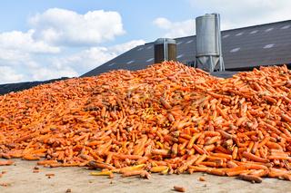 Heap of orange Carrots lying on farm
