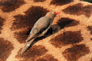 Red-billed Oxpecker-perching-South Africa