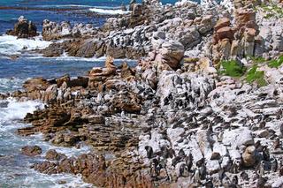 Brillenpinguin-Kolonie, Stony Point, Südafrika, African penguins, South Africa