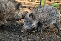 hunting boar in forest in case of swine fever