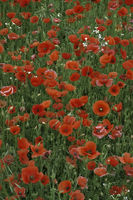 Klatsch-Mohn (Papaver rhoeas)