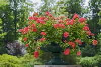 Amphore bepflanzt mit Hängegeranien