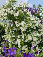 Jasmin-Nachtschatten, Kartoffelstrauch, Kartoffeljasmin, Weisser, Solanum, jasminoides