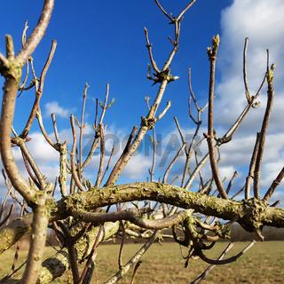 Die kahlen Äste eines Holunderbusches an einem sonnigen Wintertag