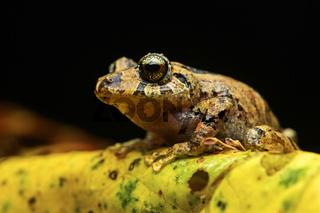 Neotropischer Frosch (Pristimantis sp.)