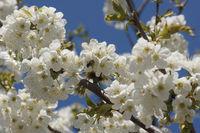 20180417_Prunus avium, Süßkirsche, Sweet Cherry009Biene.jpg