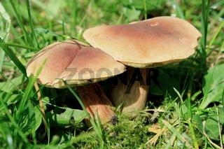Pilz, Rotfußröhrling