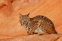 Bobcat sitting on red rocks