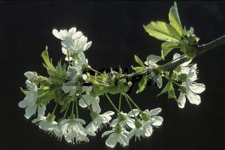 Kirschbaumbluete