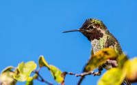 Anna's Hummingbird Perched in a Tree