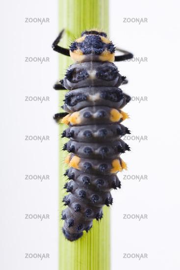 Larve von einem Siebenpunkt-Marienkäfer Marienkäfer  (Coccinella septempunctata) - larva from a seven-spot ladybird (Coccinella septempunctata)
