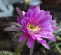 (Echinopsis cardenasiana) Vorkommen Südamerika