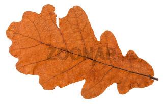 autumn dried leaf of oak tree isolated