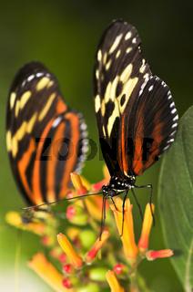 Large tiger butterflies