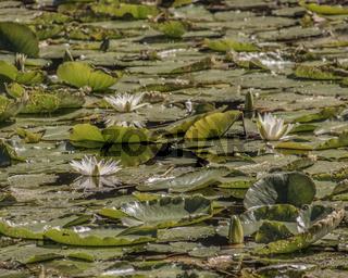 Seerosenblüte auf dem Hardtwaldsee im Wasserbachtal bei Rutesheim, Baden-Württemberg