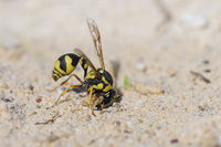 Toepferwespe, Eumenes dubius , Potter wasp, Mason wasp collecting mud