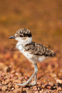 Lapwing Chick by Lake