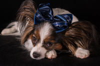 Beautiful dog Continental Toy Spaniel Papillon with blue bow on his head on a black background