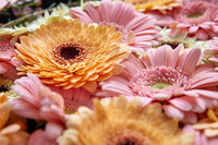 Close-up of bright fresh pink and orange gerberas. Spring concept