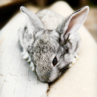 Cute cudly baby grey pet bunny rabbit.